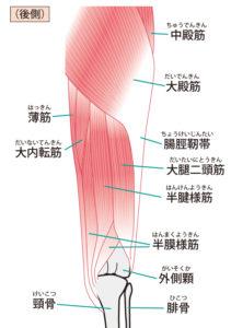 股関節と関係する筋肉